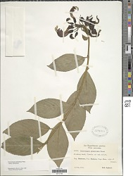 Centropogon granulosus subsp. granulosus