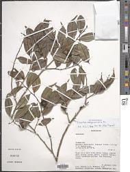 Trilepisium madagascariense DC.