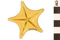 Cookie Sea Star, Sea Star