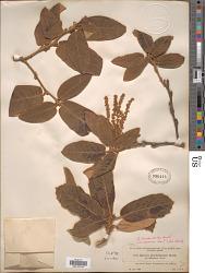 Quercus brachystachys Benth.
