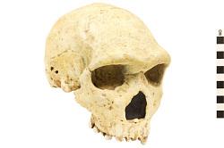 Petralona 1, Fossil Hominid