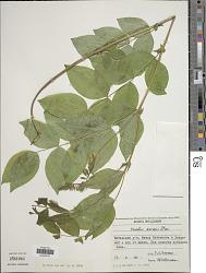 Lathyrus aureus (Steven) Bornm.