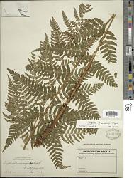 Dryopteris x neowherryi W.H. Wagner