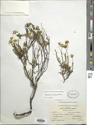 Chrysactinia mexicana A. Gray