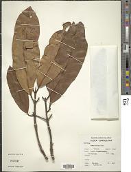 Mammea africana Sabine