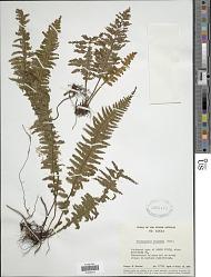 Trichomanes trigonum Desv.