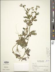Nasa triphylla