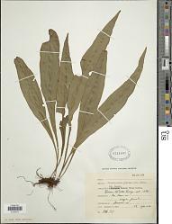 Elaphoglossum rigidum (Aubl.) Urb.