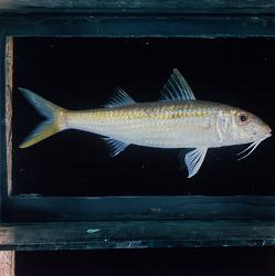 Mulloidichthys flavolineatus