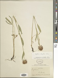 Trifolium douglasii House