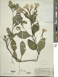 Ruellia tuberosa L.