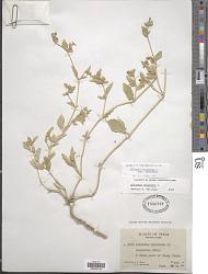 Allionia incarnata var. incarnata L.