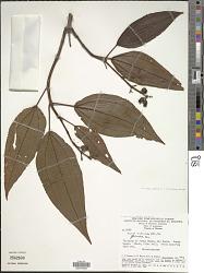 Tococa subciliata (DC.) Triana