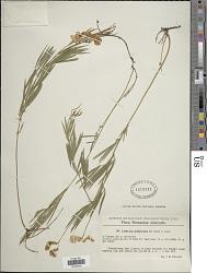 Lathyrus pallescens (M. Bieb.) K. Koch