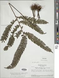 Adiantum cajennense Willd. ex Klotzsch