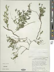 Carlowrightia mexicana Henrickson & T.F. Daniel