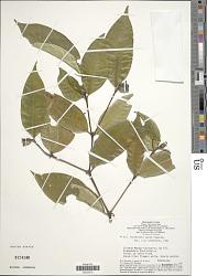 Psychotria apoda Steyerm.