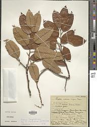 Shorea longisperma Roxb.