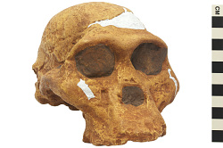 STS 5, Fossil Hominid