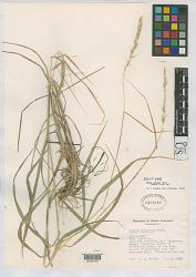 Elymus svensonii G.L. Church