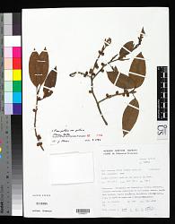 Ficus prolixa G. Forst. var. prolixa
