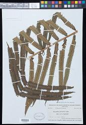 Pneumatopteris parksii (F. Ballard) Holttum
