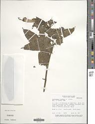 Centropogon cornutus (L.) Druce
