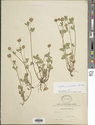 Trifolium ciliolatum Benth.