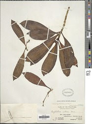 Psychotria nitens (Merr.) Merr.