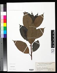 Ficus litseifolia Corner