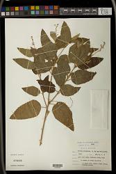 Croton rivularis Müll. Arg.