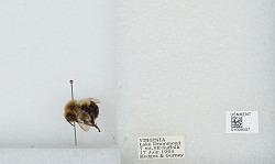 Bombus (Pyrobombus) impatiens