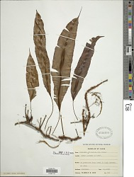 Oleandra articulata (Sw.) C. Presl