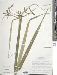 Diplasia karataefolia Rich.