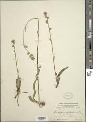 Orthopappus angustifolius (Sw.) Gleason