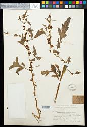 Datisca glomerata (C. Presl) Baill.