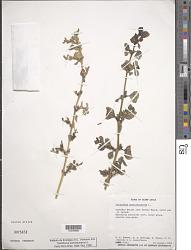 Trianthema portulacastrum L.