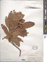 Quercus humboldtii Bonpl.