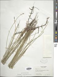 Eleocharis montana (Kunth) Roem. & Schult.