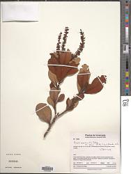 Roupala pseudocordata var. jahnii (Pittier) K.S. Edwards
