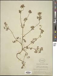 Apium graveolens L.
