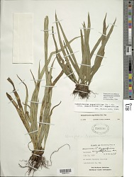 Campyloneurum ensifolium (Willd.) J. Sm.