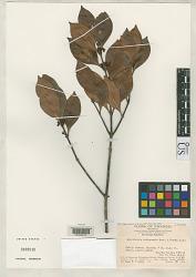 Microtropis cathayensis Merr. & F. L. Freeman