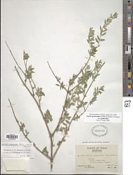 Aloysia gratissima (Gillies & Hook.) Tronc.