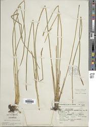 Eleocharis mutata (L.) Roem. & Schult.