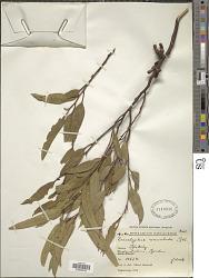 Eucalyptus annulata Benth.