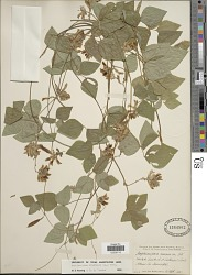 Amphicarpaea bracteata (L.) Fernald