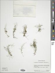 Polyphlebium angustatum (Carmich.) Ebihara & Dubuisson