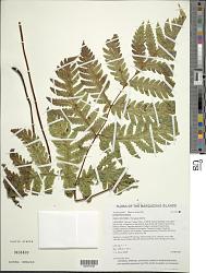 Tectaria jardinii (Mett. ex Kuhn) E.D. Br.