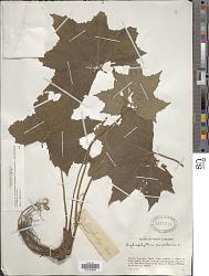 Hydrophyllum canadense L.